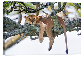 Lienzo  Lioness, resting - PhotoStock-Israel
