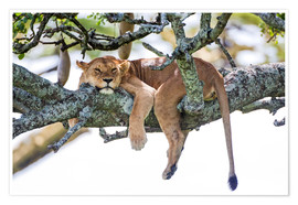 Póster  Lioness, resting - PhotoStock-Israel