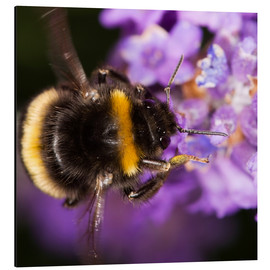 Aluminio-Dibond  Bumble bee collecting pollen - Power and Syred