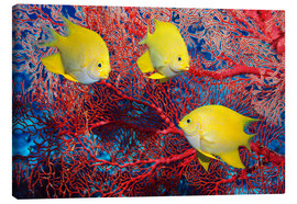 Lienzo  Golden damselfish - Georgette Douwma