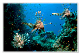 Póster Lionfish on a reef