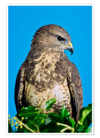 Póster  Common buzzard - David Aubrey