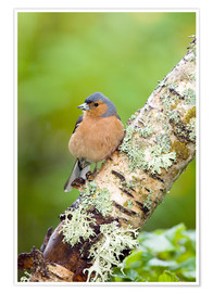 Póster  Chaffinch - Duncan Shaw