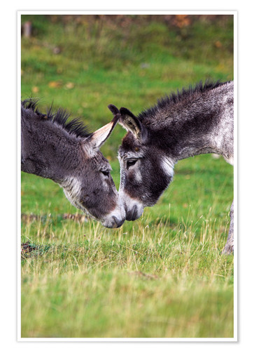 Póster Donkeys touching noses