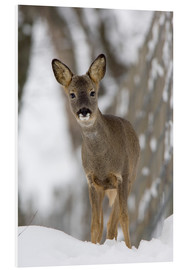 Cuadro de PVC  Roe deer in winter - Duncan Shaw