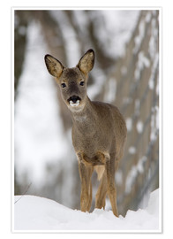 Póster  Roe deer in winter - Duncan Shaw
