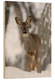 Madera  Roe deer in winter - Duncan Shaw