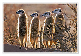 Póster  Meerkats on guard duty - Tony Camacho