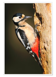 Póster  Great spotted woodpecker - Colin Varndell