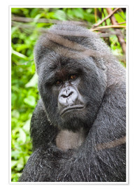 Póster Mountain gorilla