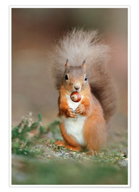 Póster Red squirrel eating a hazel nut
