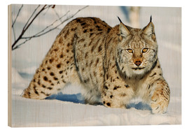 Madera  Eurasian lynx in snow - Rolfes