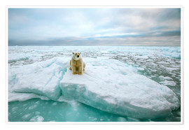 Póster  Polar bear sitting on a ice floe - Peter J. Raymond
