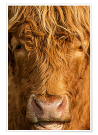 Póster  Highland cattle - Simon Booth