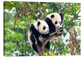 Lienzo  Young Pandas in a tree - Tony Camacho