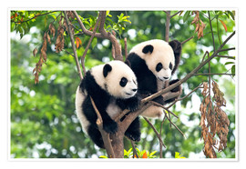 Póster  Young Pandas in a tree - Tony Camacho