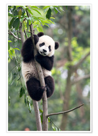 Póster  Panda on a tree - Tony Camacho