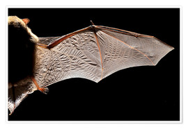 Póster  Common pipistrelle bat wing - Alex Hyde