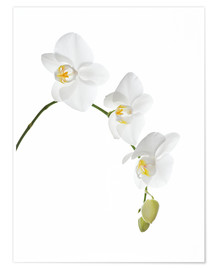 Póster  Orchid flowers (family Orchidaceae) - GAVIN KINGCOME