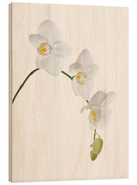Cuadro de madera  Orchid flowers (family Orchidaceae) - GAVIN KINGCOME