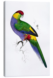 Lienzo  Red capped Parakeet 1 - Edward Lear