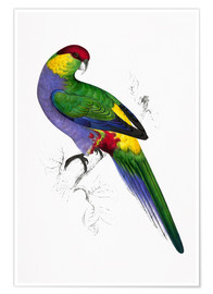 Póster  Red capped Parakeet 1 - Edward Lear