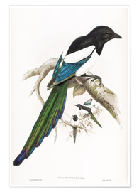 Póster Afghan Magpie
