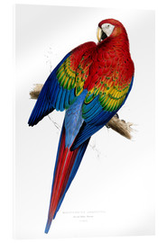 Cuadro de metacrilato  Red & Yellow Macaw - Edward Lear