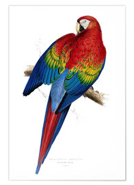 Edward Lear - Red & Yellow Macaw