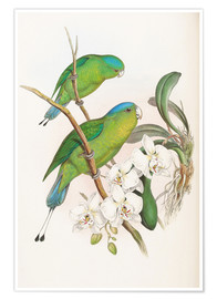 Póster  Philippine Racket tailed Parrot - John Gould