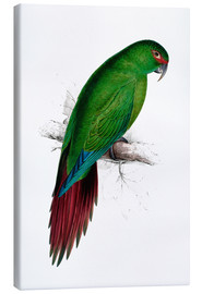 Lienzo  Long billed Parakeet Macaw - Edward Lear