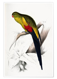 Póster  Black tailed Parakeet - Edward Lear