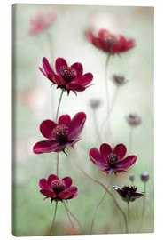 Lienzo  Cosmos - Mandy Disher