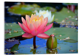 GUGIGEI - water lily