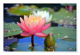 Póster  water lily - GUGIGEI