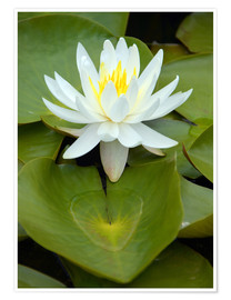 Póster  white water lily - GUGIGEI