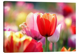 Lienzo  Beautiful colorful Tulips - Lichtspielart