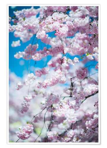 Póster Cherry blossom in spring