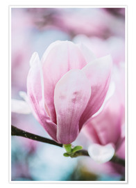 Póster  Closeup of blossoming magnolia in spring - Peter Wey