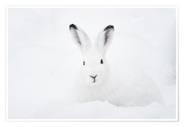 Póster  Mountain hare in winter - Peter Wey