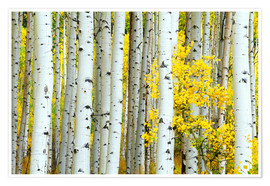 Póster  birch forest - Rob Tilley