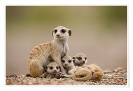 Póster  Meerkat family in Namibia - Paul Souders