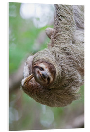 Cuadro de PVC  A Brown-Throated Sloth (Bradypus variegatus) scratches its neck with its distinctive claw. Corcovado - Jim Goldstein