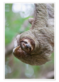 Póster  A Brown-Throated Sloth (Bradypus variegatus) scratches its neck with its distinctive claw. Corcovado - Jim Goldstein