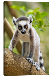 Lienzo  Baby ring-tailed lemur (lemur catta) in the Anja private community reserve near Ambalavao in souther - Gallo Images