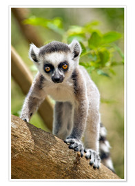 Póster  Baby ring-tailed lemur (lemur catta) in the Anja private community reserve near Ambalavao in souther - Gallo Images