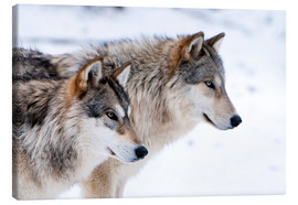 Lienzo  Two Timber Wolves in the snow - Louise Murray