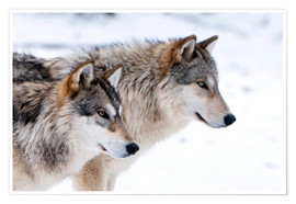 Póster  Two Timber Wolves in the snow - Louise Murray