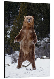 Cuadro de aluminio  Grizzly Bear standing in the snow - James Hager
