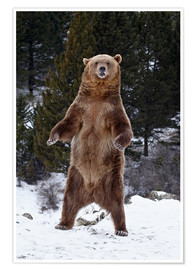Póster Grizzly Bear standing in the snow